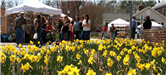 Daffodils and people at daffodil festival