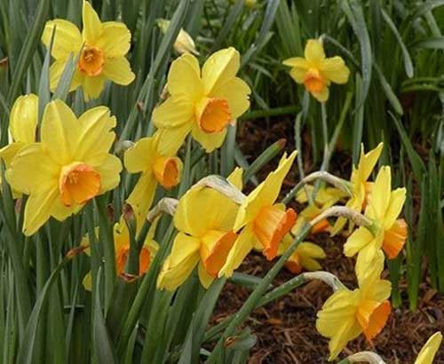 Photo of Daffoldils